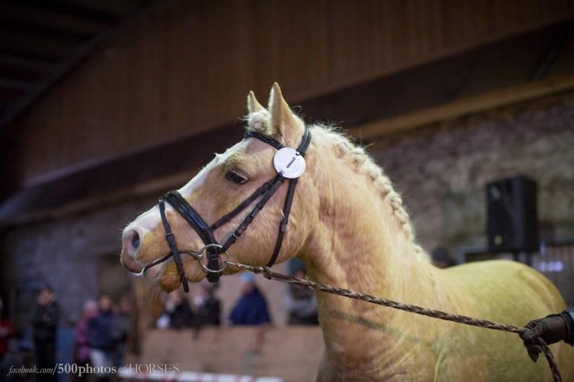 Eesti hobune täkk Ten (2017) Eesti Hobuste Aastanäitusel 2017