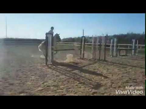 Eesti tõugu hobune Aura