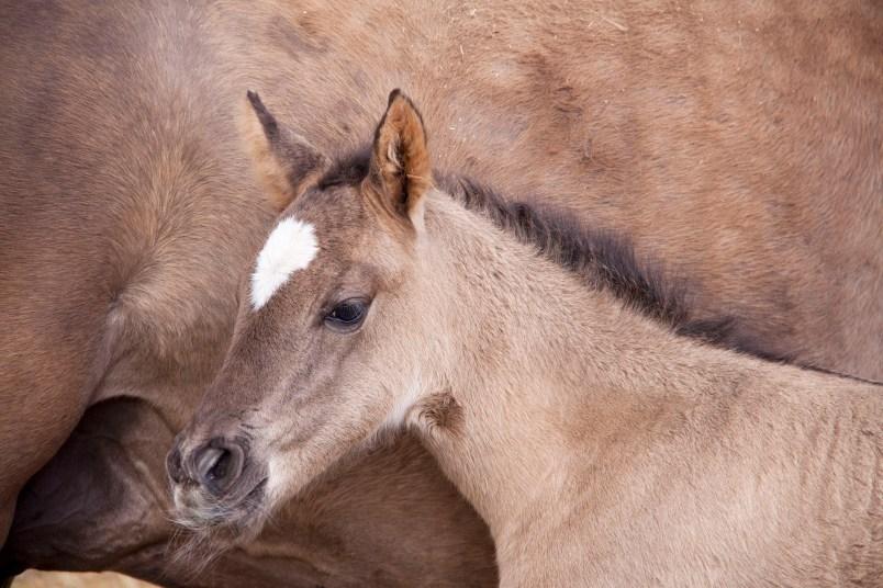 1 nädala vanune eesti hobuse varss Elenor (2018)