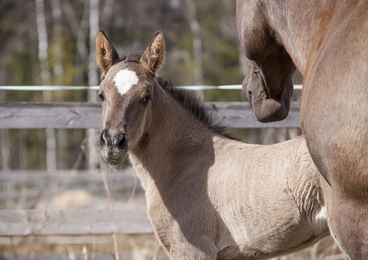 Eesti hobune – Elenor