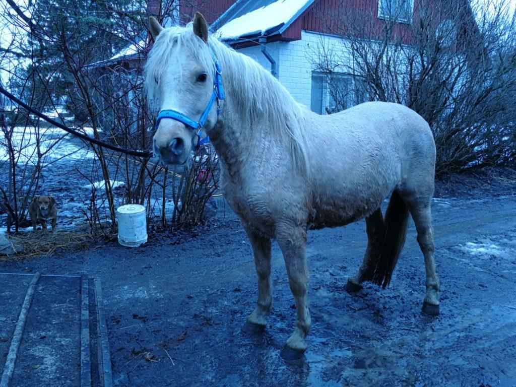 Eesti hobune Tihvani (2018)