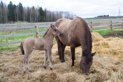 Eesti hobune Alma ja varss Elenor 1 nädalane (2018)