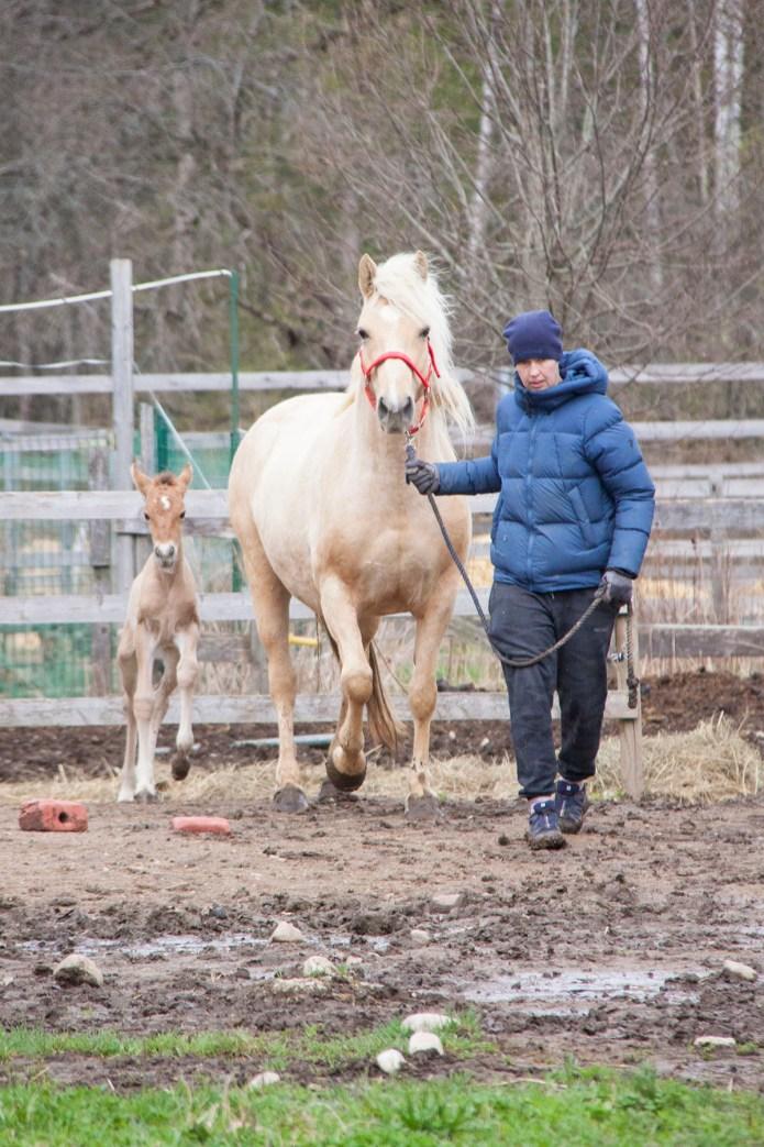 Eesti hobune Telma ja varss Emmeliine (2018)