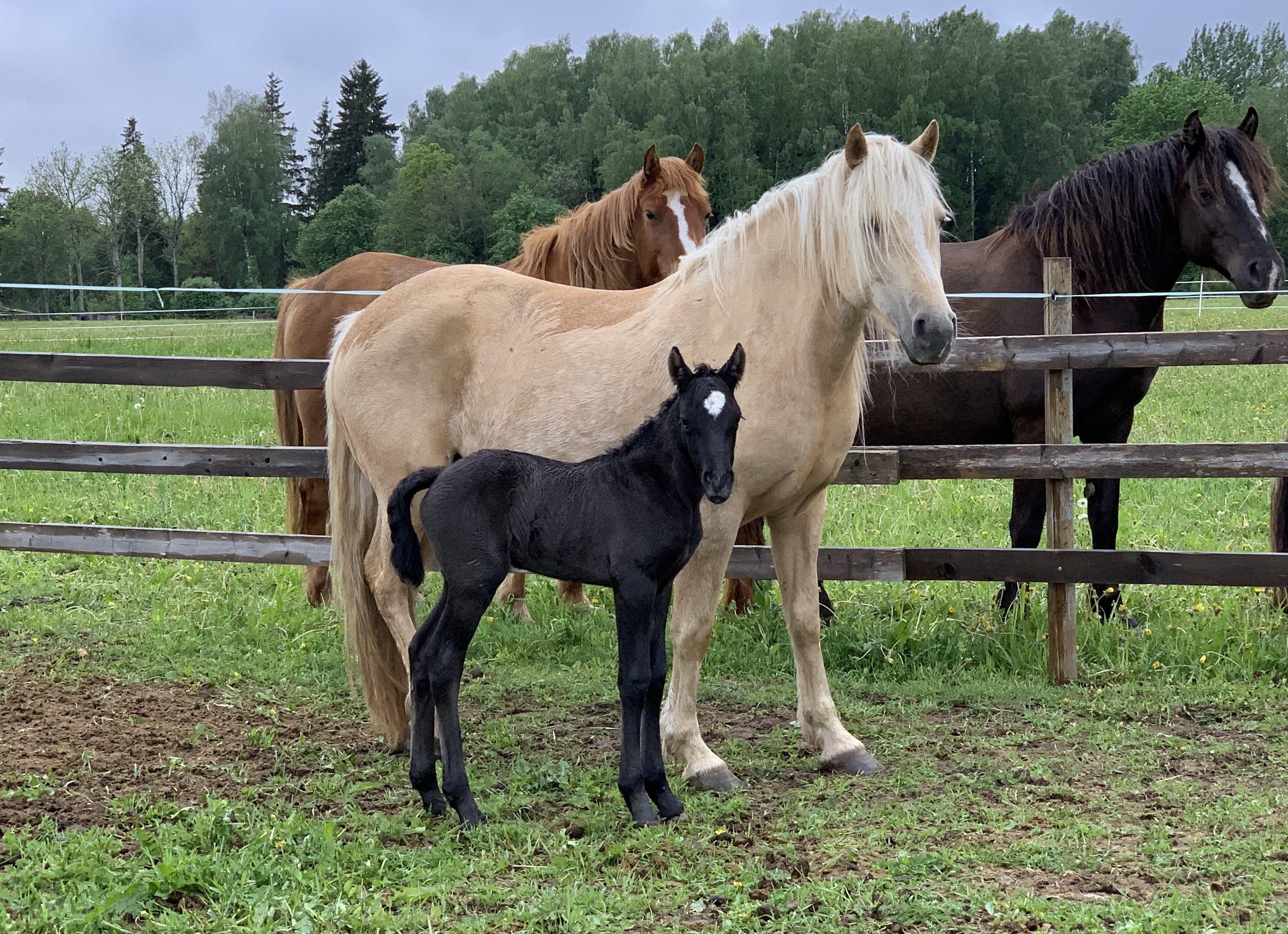 Eesti hobune – Aroonia