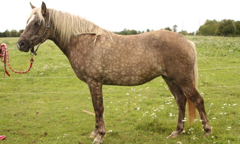 Eesti hobune – Muuksi Tralla