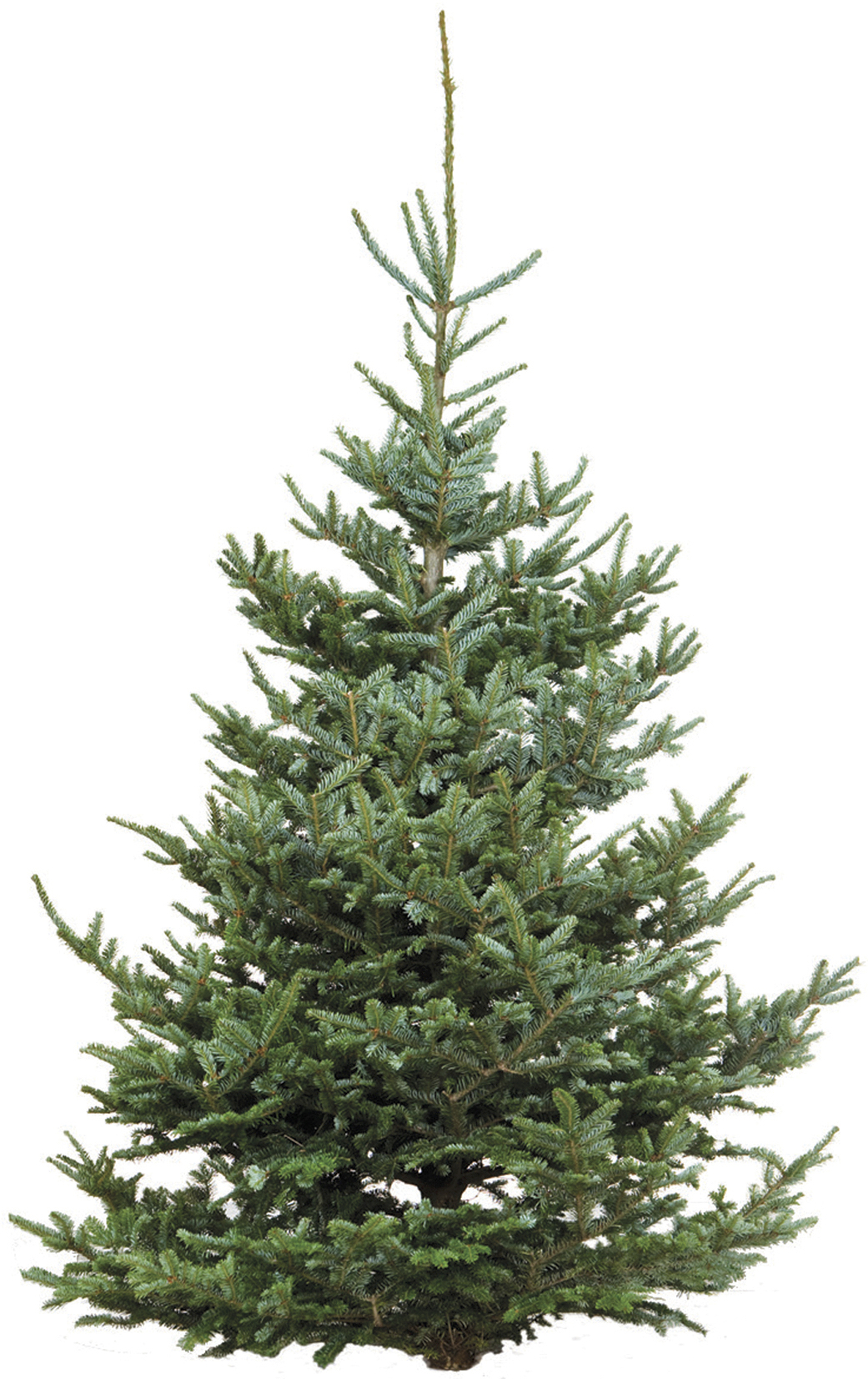 How To Select A Real Christmas Tree That Looks Lovely And Lasts All Season
