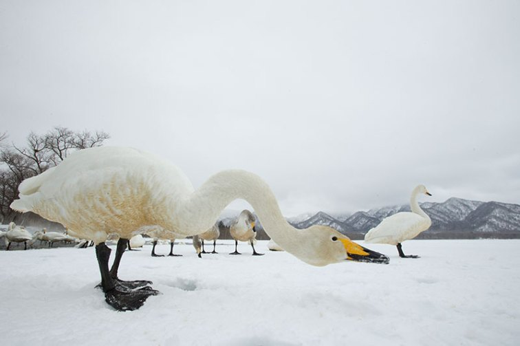 Wildlife photo ethics swans