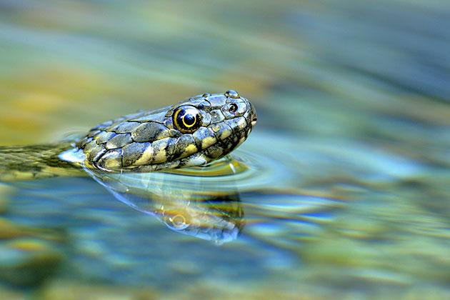 Vittorio Ricci Dice Snake