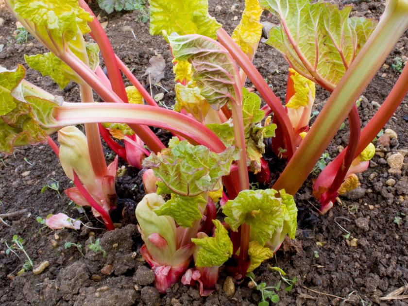Weatherproof Your Plot Rhubarb