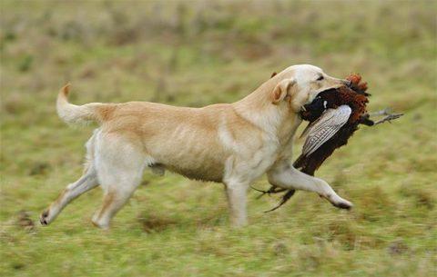 Gundog training class: overweight gundogs - The Field
