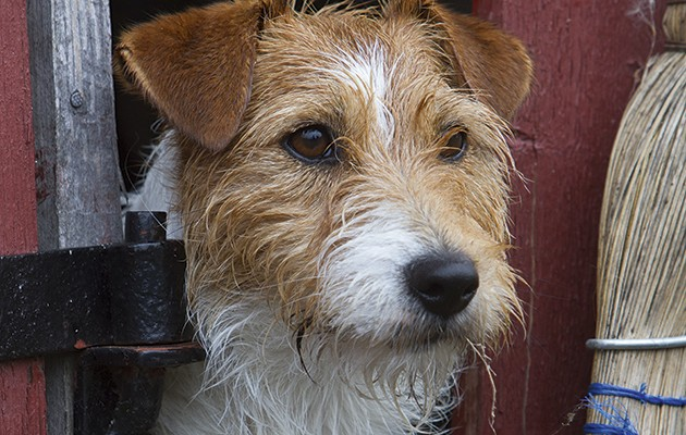 The Jack Russell Terrier Keep Them Mutts The Field