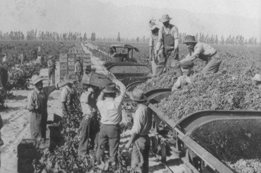 Loading grapes in vineyards of Guasti, California