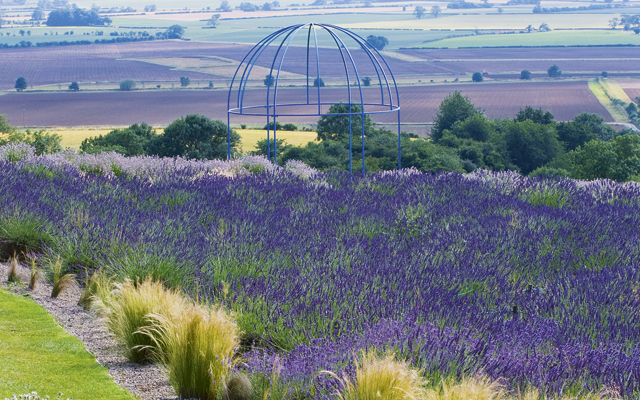 We Visit A Lavender Farm In Yorkshire