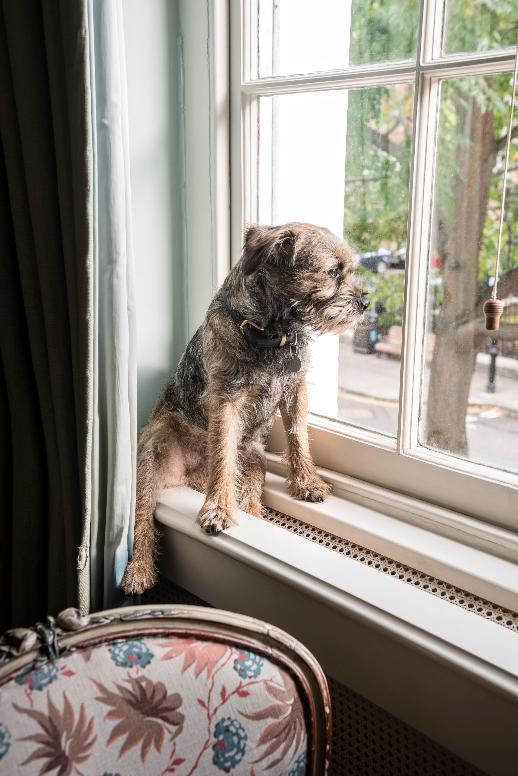 Border terrier sits on windowsill in London home