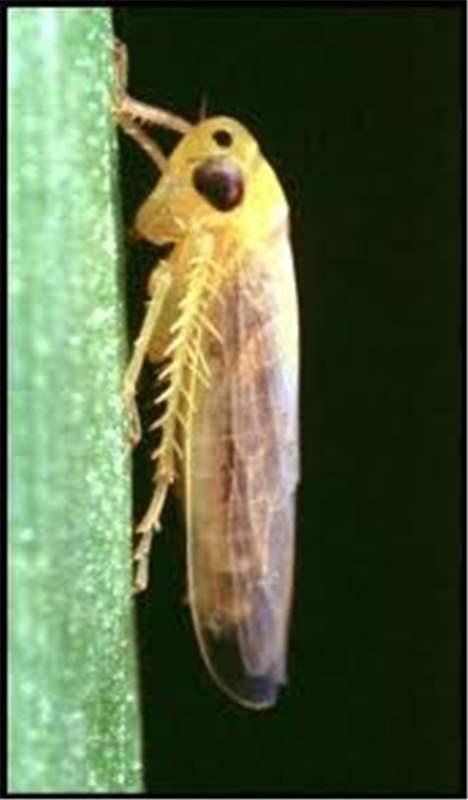 Factsheet Cicadulina Mbila Naude Maize Leafhopper