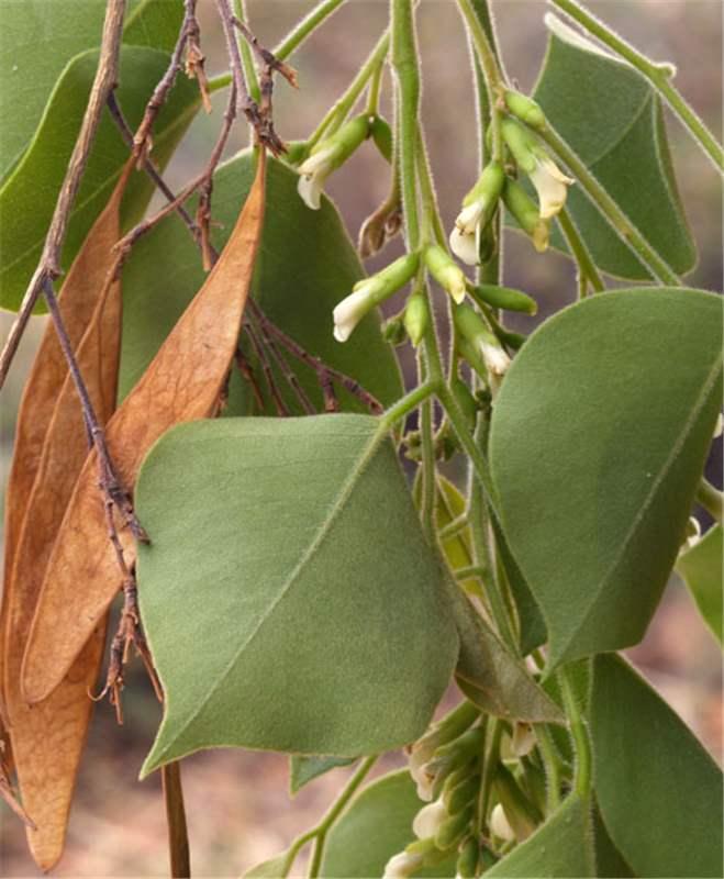 Factsheet Dalbergia Sissoo Indian Rosewood