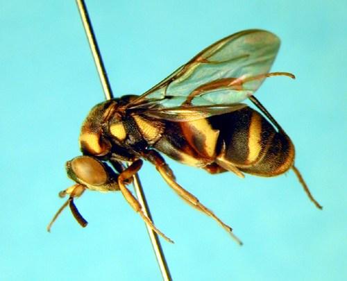 Leucospis aruina