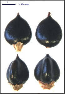 Seeds of invasive plants Lucid key taxon image gallery example