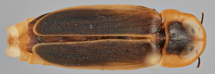 Lampyrid-ID: Key to the world genera of fireflies banner