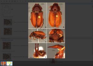 Diplotaxini Lucid key example taxa image gallery