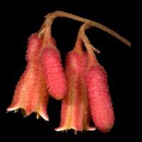 Key to Haemodoraceae of Western Australia