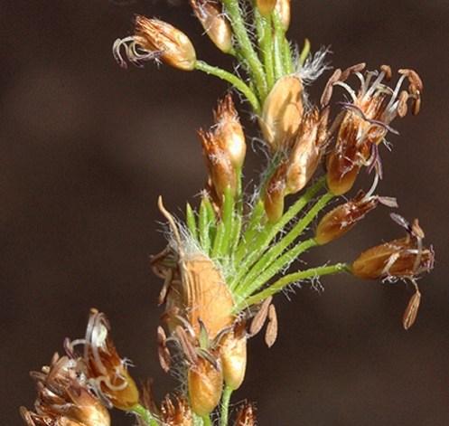 Key to Restionaceae of Western Australia