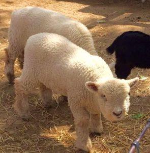 adorable-baby-farm-animal avila barn in avila beach, ca