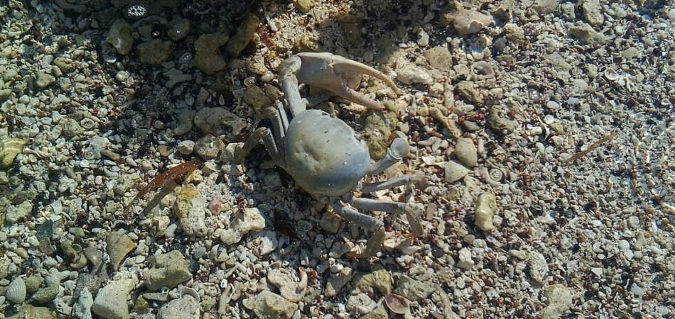 reef snorkel crab