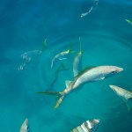 yellowtail snapper keys boat tours