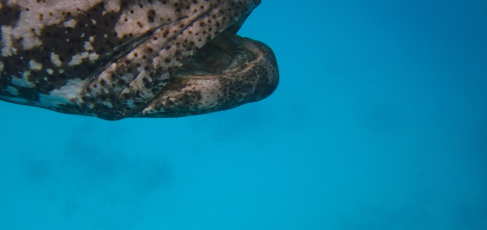 Goliath Grouper Looe Key