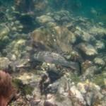 snorkeling Newfound Harbor black grouper