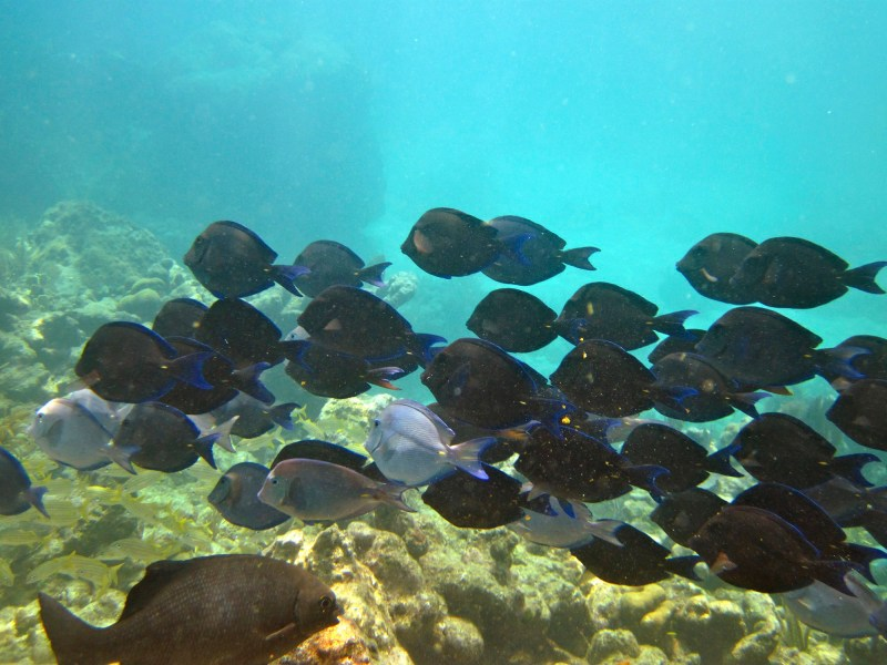 reef snorkel school of blue tang