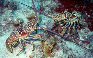 Lobster mini-season