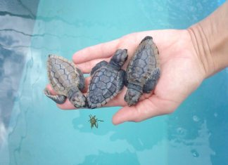 #OMG: The baby sea turtles have arrived! - A turtle swimming under water - Loggerhead sea turtle