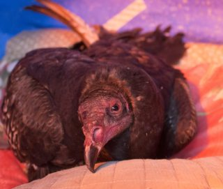 A poisoned turkey vulture finally opens his eyes after being treated.