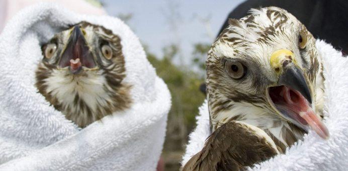 Broad-winged Hawks recuperate.
