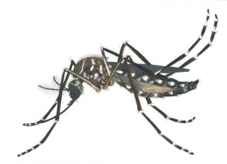 Zika virus explained - A close up of a spider - Yellow fever mosquito