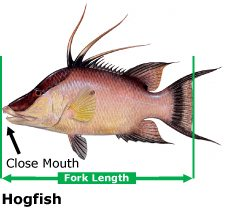How to measure a hogfish.