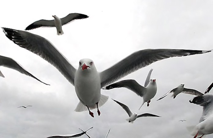 Key West City Commission Debates Landfill - A flock of seagulls flying in the air - Gulls