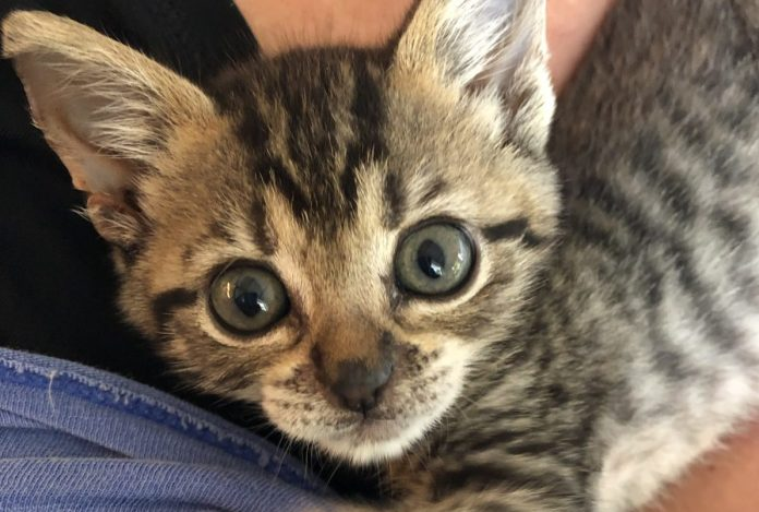 Put your teen to 'work' fostering a cat this summer - A cat that is lying down and looking at the camera - Dragon Li