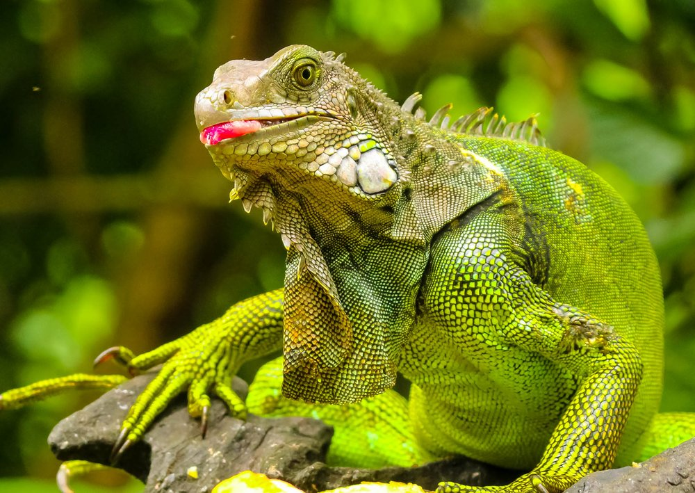 FWC encourages homeowners to kill green iguanas - A close up of a reptile - Lizard
