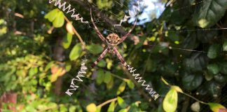 A close up of a silver orb spider on tree branch