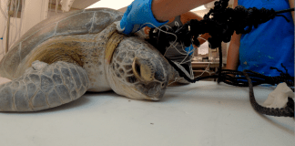 Speared sea turtle makes full recovery – Splinter will return to her ocean home on Friday - A turtle sitting on a table - Turtle