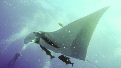 Manta rays are filter feeders and may be attracted to high plankton concentrations in areas like Looe Key, Grace Casselberry said. This manta ray was photographed in the Revillagios Islands in Mexico. TIFFANY DUONG/Keys Weekly