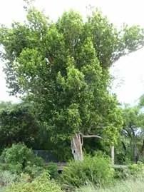 Pigeon Plum Tree Image