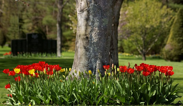 Oak surrounded by tulips at Laurel Hill Cemetery.