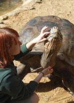 Scavelli speaks to the male goliath tortoise as she gently peels back the loose skin of his scratch.