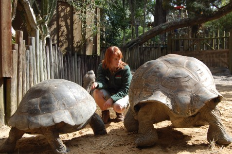 """""""Sometimes it is hard to give them all attention at once,""""said Scavelli. The goliath tortoises automatically saunter to her presence."""