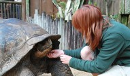 Scavelli coaxes the female goliath tortoise to peek out of its massive shell.