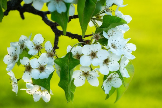 130503_Emerging_Pear Blossoms by Karl Graf.